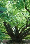 """Link to story """"The Beech Tree"""""""