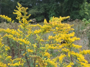 Goldenrod, with pollinators (bees)