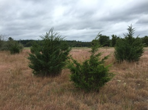 Young juniper trees