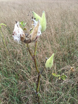 Milkweed provides food for endangered monarch butterflies